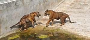 Beginning of fight Thai tiger farm