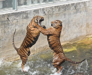 Thai tigers fighting