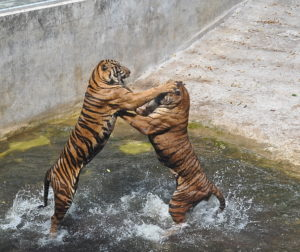 Male tigers fighting in Thailand tiger farm